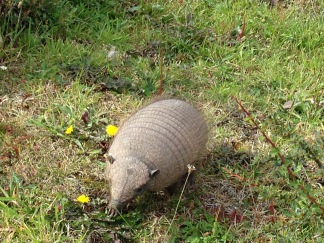 Armadillo scavenging near our picnic table